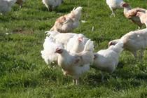 produits-poulet-chapons