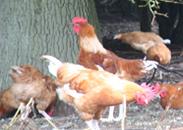 poulet-blanc-pattes-blanches
