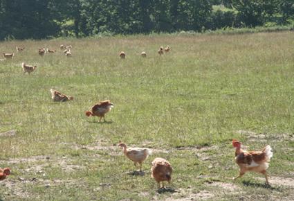 poulets-jaunes